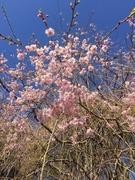 しだれ桜.jpeg